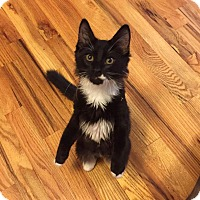 Adopt A Pet :: Brendon (Musician Kittens) - Media, PA