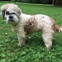 Lhasa Apso Mix Dog for adoption in Enfield, Connecticut - Rosie