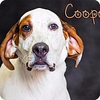 Adopt A Pet :: Cooper - Somerset, PA