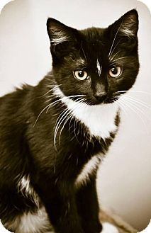 Domestic Shorthair Cat for adoption in Louisiana, Missouri - Michael