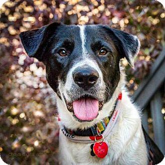 Border Collie/Labrador Retriever Mix Dog for adoption in Boulder, Colorado - Jagger - Courtesy Post