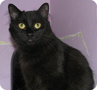Domestic Shorthair Cat for adoption in New Kensington, Pennsylvania - Olive