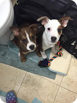 Australian Kelpie Mix Puppy for adoption in Manhattan, New York - Sasha