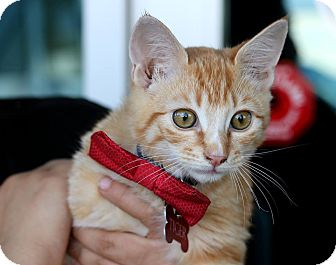 Domestic Shorthair Kitten for adoption in South El Monte, California - Tiger