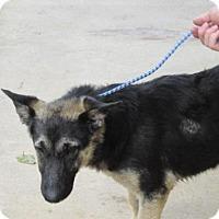 German Shepherd Dog Mix Dog for adoption in Rocky Mount, North Carolina - Zamora