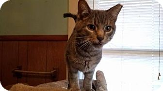 Domestic Shorthair Kitten for adoption in Strongsville, Ohio - Lilly