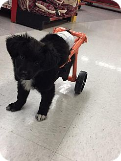 Spaniel (Unknown Type)/Terrier (Unknown Type, Small) Mix Dog for adoption in Raleigh, North Carolina - Frankie