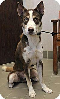 Siberian Husky/Australian Shepherd Mix Dog for adoption in Casper, Wyoming - Fletcher