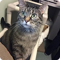 Domestic Mediumhair Cat for adoption in Bridgewater, New Jersey - Willow