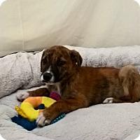 Adopt A Pet :: Jessy - Las Vegas, NV