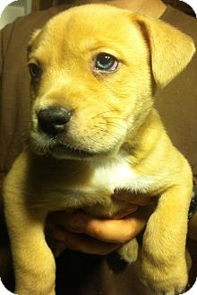 Shepherd (Unknown Type) Mix Puppy for adoption in Russellville, Kentucky - Teddy