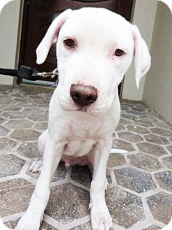 Marshall Pending Adopted Dog Detroit Mi American Staffordshire Terrier Beagle Mix