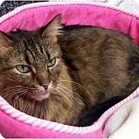 Adopt A Pet :: Toffee - Alexandria, VA