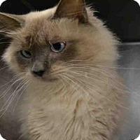 Adopt A Pet :: MANGO - Atlanta, GA