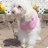 Adopt A Pet :: Bebe - West Chicago, IL