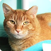 Adopt A Pet :: Pumpkin - Bellevue, WA