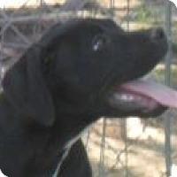 Labrador Retriever/Boxer Mix Dog for adoption in Grand Saline, Texas - Apollo
