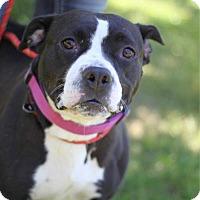 Staffordshire Bull Terrier/Labrador Retriever Mix Dog for adoption in South Haven, Michigan - Mila Kunis