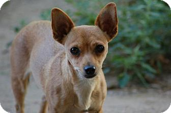 Chihuahua Mix Dog for adoption in C/S & Denver Metro, Colorado - Taffy  3 Years