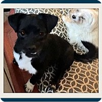 Pug/Chihuahua Mix Puppy for adoption in Rancho Cucamonga, California - Pugsley