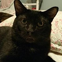 Domestic Shorthair Cat for adoption in Whitby, Ontario - Tommy