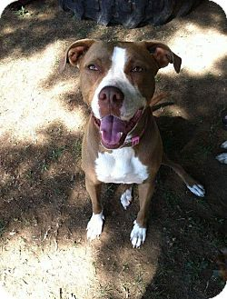 Labrador Retriever/Pit Bull Terrier Mix Dog for adoption in Northwood, New Hampshire - Molly