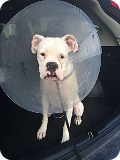 Boxer Mix Dog for adoption in Austin, Texas - Spamela Hamderson
