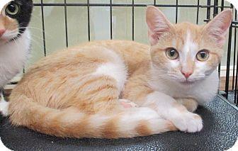 Domestic Shorthair Kitten for adoption in Reeds Spring, Missouri - Shanzi