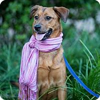 Adopt A Pet :: Schuyler - Fayetteville, AR