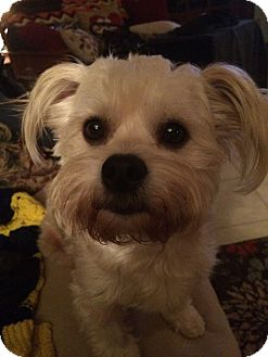 Maltese/Westie, West Highland White Terrier Mix Dog for adoption in Ypsilanti, Michigan - Cassidy