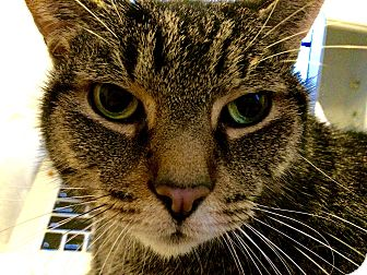 Domestic Shorthair Cat for adoption in Toronto, Ontario - Chester *Declawed*