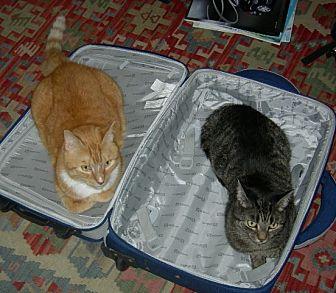 Domestic Shorthair Cat for adoption in New York, New York - Munch