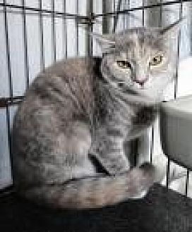 Domestic Shorthair Cat for adoption in Stuart, Virginia - Tamika