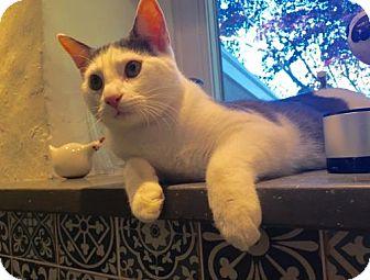Domestic Shorthair Kitten for adoption in Philadelphia, Pennsylvania - Angel