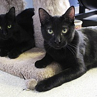 Adopt A Pet :: Chance the Catter / Lucky Cat - Chicago, IL