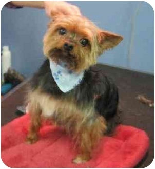 Yorkie, Yorkshire Terrier Mix Dog for adoption in Conroe, Texas - Wicket