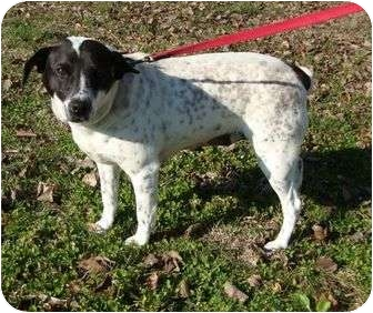 Beagle/Dalmatian Mix Dog for adoption in Hagerstown, Maryland - Greta (wanda)