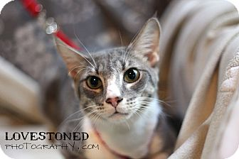 Bengal Kitten for adoption in Farmington, Michigan - Pretender: Bengal/ Siamese Mix