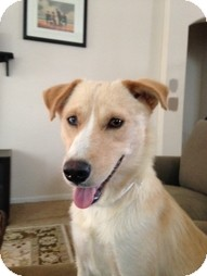 Golden Retriever/Wirehaired Fox Terrier Mix Dog for adoption in Philadelphia, Pennsylvania - Madilyn