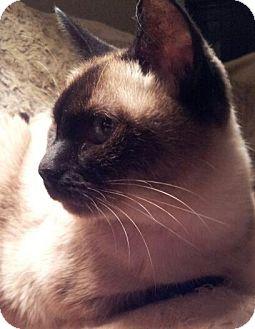 Momo Adopted Cat Columbus Oh Siamese