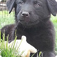 Adopt A Pet :: Midnight - Denver, CO