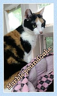 Domestic Shorthair Cat for adoption in Huntington, New York - Marble Poundcake