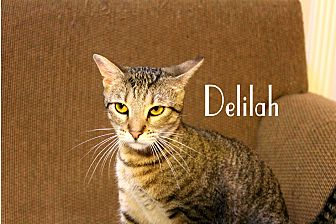 Domestic Shorthair Cat for adoption in Wichita Falls, Texas - Delilah