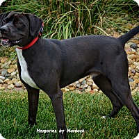 Labrador Retriever/Boxer Mix Dog for adoption in St John, Indiana - Jake