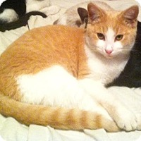 Domestic Shorthair Cat for adoption in Alamo, California - Little