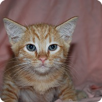 Adopt A Pet :: Munchkin, Olive and Sequoia - Ridgway, CO