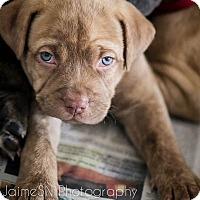 Adopt A Pet :: Teddi - Miami, FL