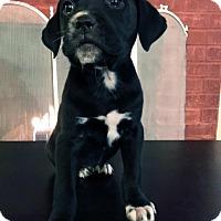 Adopt A Pet :: Moonlight Pup - Amaris - Adopted! - San Diego, CA