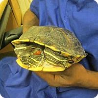 Adopt A Pet :: SQWERT - Upper Marlboro, MD