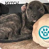 Adopt A Pet :: Mitch - Kimberton, PA